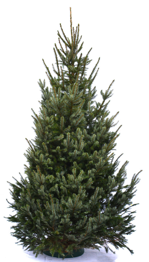levende kerstboom picea omorika in pot